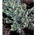 "12 x Biely Bršlen Fortuneov FloraSelf Euonymus fortunei ""Emerald n Gaiety"" 10-15 cm kvetináč 0,3 l"