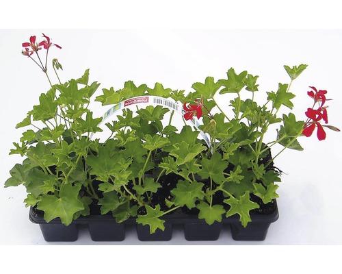 Muškát previsnutý jednoduchý Pelargonium peltatum 10 pack rôzne druhy