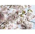 Fototapeta Rozkvitnutý strom 368x254 cm